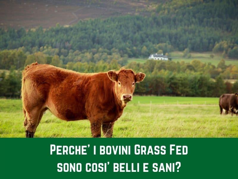 Perché i bovini Grass Fed sono così belli e sani?